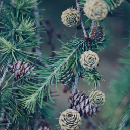 nature intothewoods wilderness pinetrees pinecones freetoedit