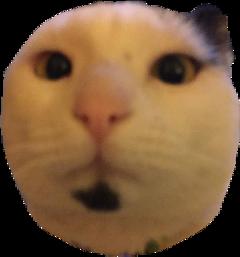 cat gato freetoedit