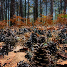 intothewoods nature woodswalking trees pinetrees freetoedit