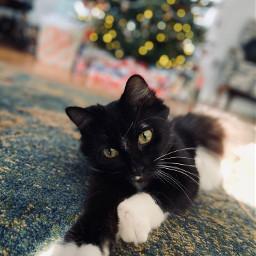 freetoedit cats catsofpicsart catlove christmas