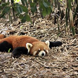 pandarojo panda rojo redpanda red