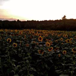 freetoedit myphotoedited adjusttool sunflowers field
