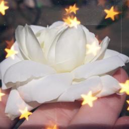 flower nature rose whiterose freetoedit