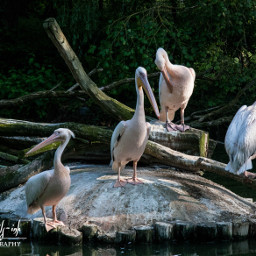 freetoedit birds waterfowl wildlife petsandanimals