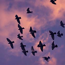 birdsinflight flockofbirds sky clouds look freetoedit