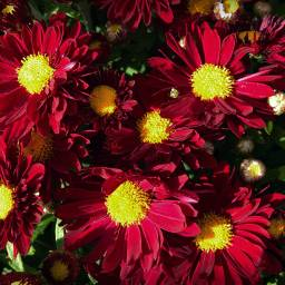 florals floralbackgrounds backgrounds red redandyellow freetoedit