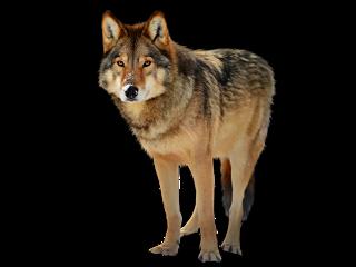 wolf wolfs animals animal fox ftestickers freetoedit