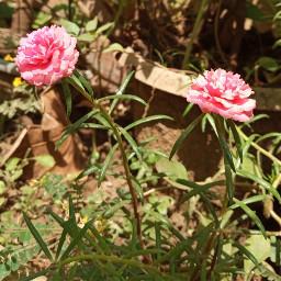 freetoedit flower nature kerkala afteralongtime