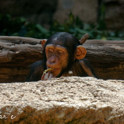 tenerife monkey animal zoo beautifulnature freetoedit