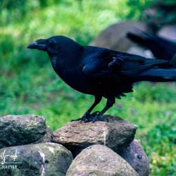freetoedit bird raven wildlife petsandanimals