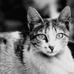freetoedit pcpicsartpets picsartpets blackandwhite cat