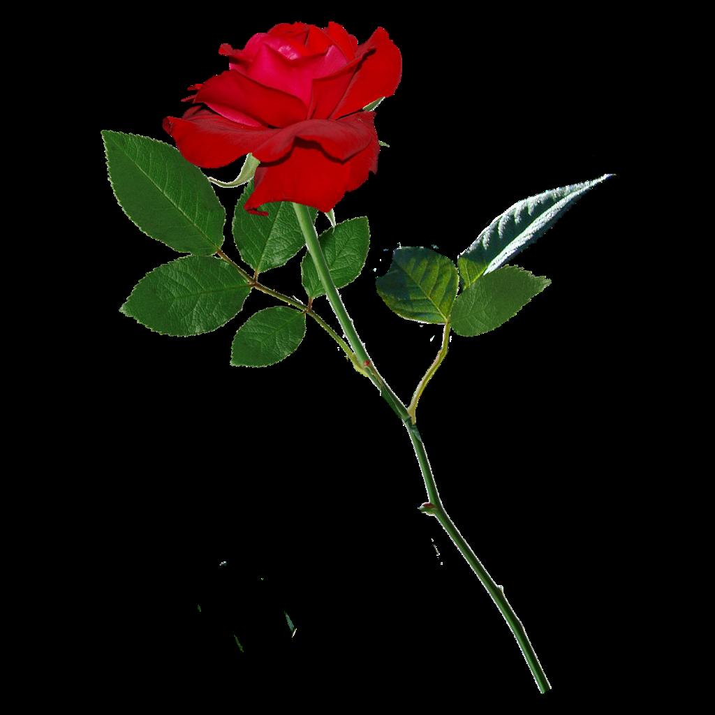#rose #rahulbharti