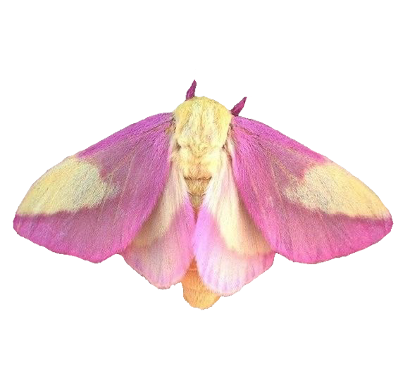 #moth #moths #insect #insects #freetoedit