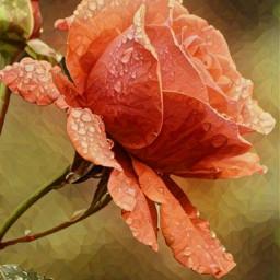 rose peachrose dewdrops waterdrops beautiful