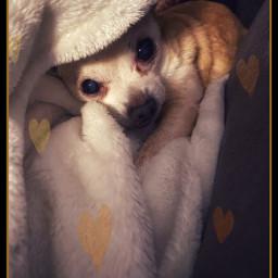 freetoedit chihuahua doggo heartstickers ilove