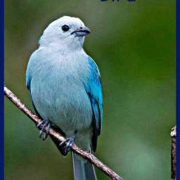 freetoedit bird blue petsandanimals branch