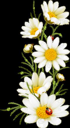 daisies ladybugs grass grassanddaisies freetoedit