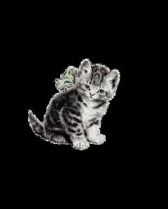 kitten kittycat kittens kittylove kitty freetoedit