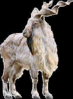 markhor pakistan nationalanimal goat isi freetoedit