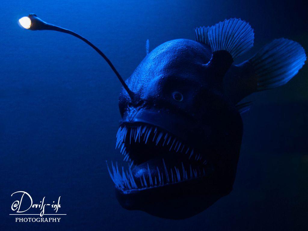 2nd sealife collection no.10  Humpback blackdevil - Melanocetus johnsonii  #freetoedit #photography #deepsea #fish #aquarium