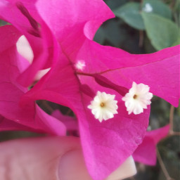 flowers bougainvillea myhand beautiful myphotography