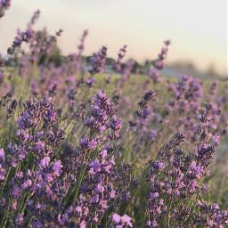 lavender purple fields nature beautiful