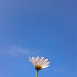 daisy flower freetoedit pctheblueabove theblueabove