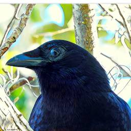 myphotography wildlife bird crow perching