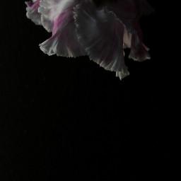 freetoedit dark blossom cyclamen flower