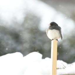 junco snow winter