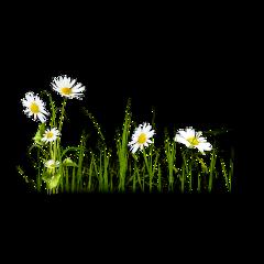 freesticker grass daisy flowers remixit freetoedit