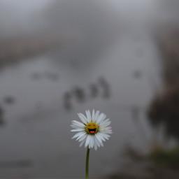 daisy flower misty outandabout freetoedit