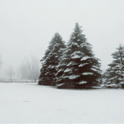 freetoedit winter fog sprucetrees snowcovered