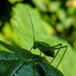 freetoedit photography grasshopper insect green