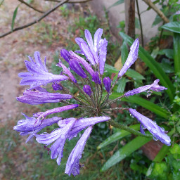 freetoedit agapanthus nature flower