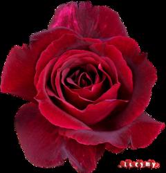 lucymy noremix red petalo petali freetoedit