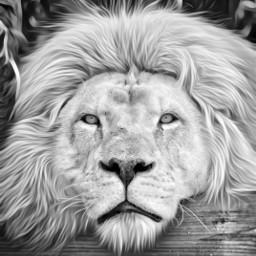 lion petsandanimals nature picsart picsoftheday