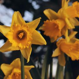 daffodil flower yellow outandabout freetoedit