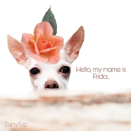 frida chihuahua pet dog animal freetoedit