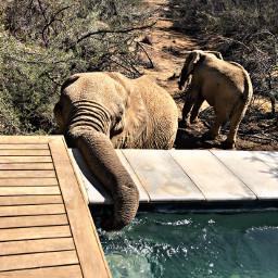 elephants southafrica africa swim swimmingpool