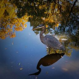 nature wildlife putabirdonit bird autumn freetoedit pcreflections reflections