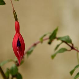 fucsias pendientesdelareina fuchsia flores flora