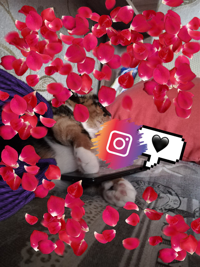 #freetoedit   cat and instagram