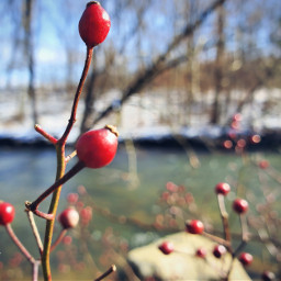 freetoedit myphoto berries winterberries bokeh