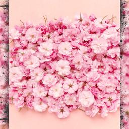 freetoedit flowers valentinsday rosa beautiful