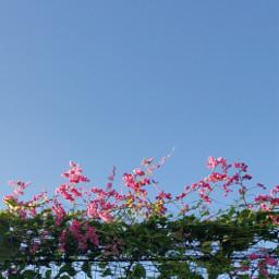nature flowers grapevine fence sky freetoedit