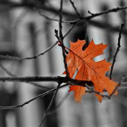 leaf focus colourfocus bnw backgroundblur