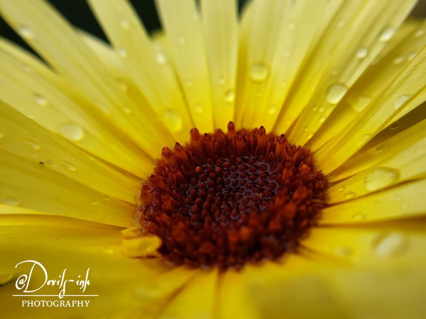 5th flower macro collection no.5  Pot marigold - Calendula officinalis  #freetoedit #photography #flower #macro #raindrops