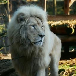 e-go lion picsart picsoftheday petsandanimals
