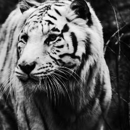 tiger whitetiger wonderful nature animal